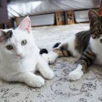 Bringing down the house: cats Neetan and Hacho