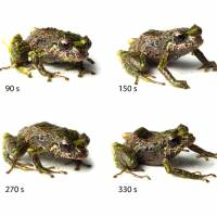 Scientists discover new 'transformer frog' in Ecuador