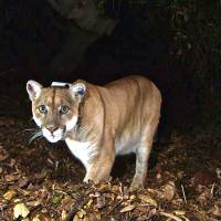 P-22, the celebrity cougar, leaves lair under L.A. house