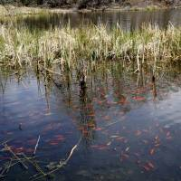 Wildlife officials say shoals of goldfish threatening native fish in Colorado lake