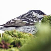 Little songbird's arduous migration reaches 'brink of impossibility'