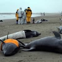 Beached dolphins feared dead