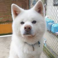 Guardian angel: an Akita named Hakuho