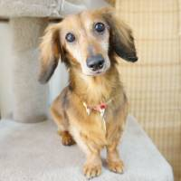 Pint-size powerhouse: a dachshund named Miggy