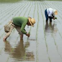 Rice farmers scrap seedlings to sow directly in cost-cutting push