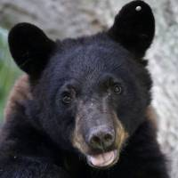 Louisiana black bears could move off threatened-species list