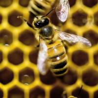 U.S. honeybee keepers lose 42% of colonies