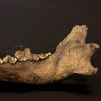 Dog domestication much older than previously known