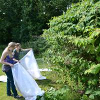 More time needed for Japanese insects  to tackle Britain's knotweed problem