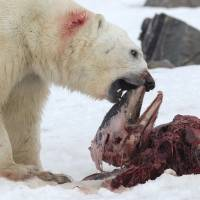 Arctic warming prompts polar bears to add dolphins to menu, hide some for later