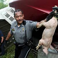 Truck carrying 2,200 pigs overturns on Ohio highway