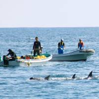 Half of dolphins caught in Japanese drive hunts are exported