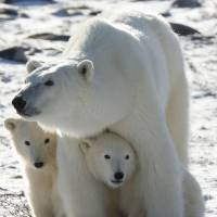 Melting sea ice to cause polar bear population to plunge, U.S. study finds