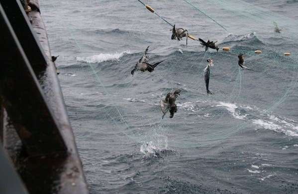 Five birds and a fish are found caught in a drift net as for Drift net fishing