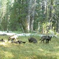 Photos confirm first wild wolf pack in California for nearly a century