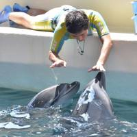 Japan faces uphill battle to breed dolphins after drive hunt ban