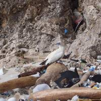 Study predicts that nearly all seabirds will have ingested plastic by 2050