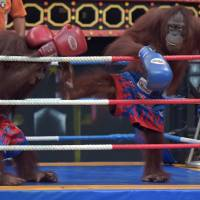 Boxing orangutans remain a throwback as Thailand warms to animal rights
