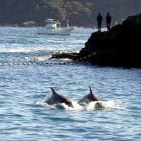 Season's first dolphins killed in annual Taiji hunt