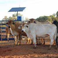 Australia tests system to weigh cattle using 'groundbreaking' satellite technology
