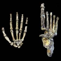 Bone find shows extinct species of early human walked upright, climbed trees, handy with tools
