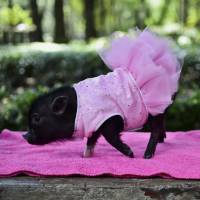Miniature pigs become a trendy new pet in Mexico City
