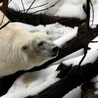 Polar bears' numbers to fall as Arctic ice shrinks, detailed study predicts