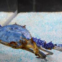 Oita aquarium boasts 'blue crab of happiness' — while the color lasts