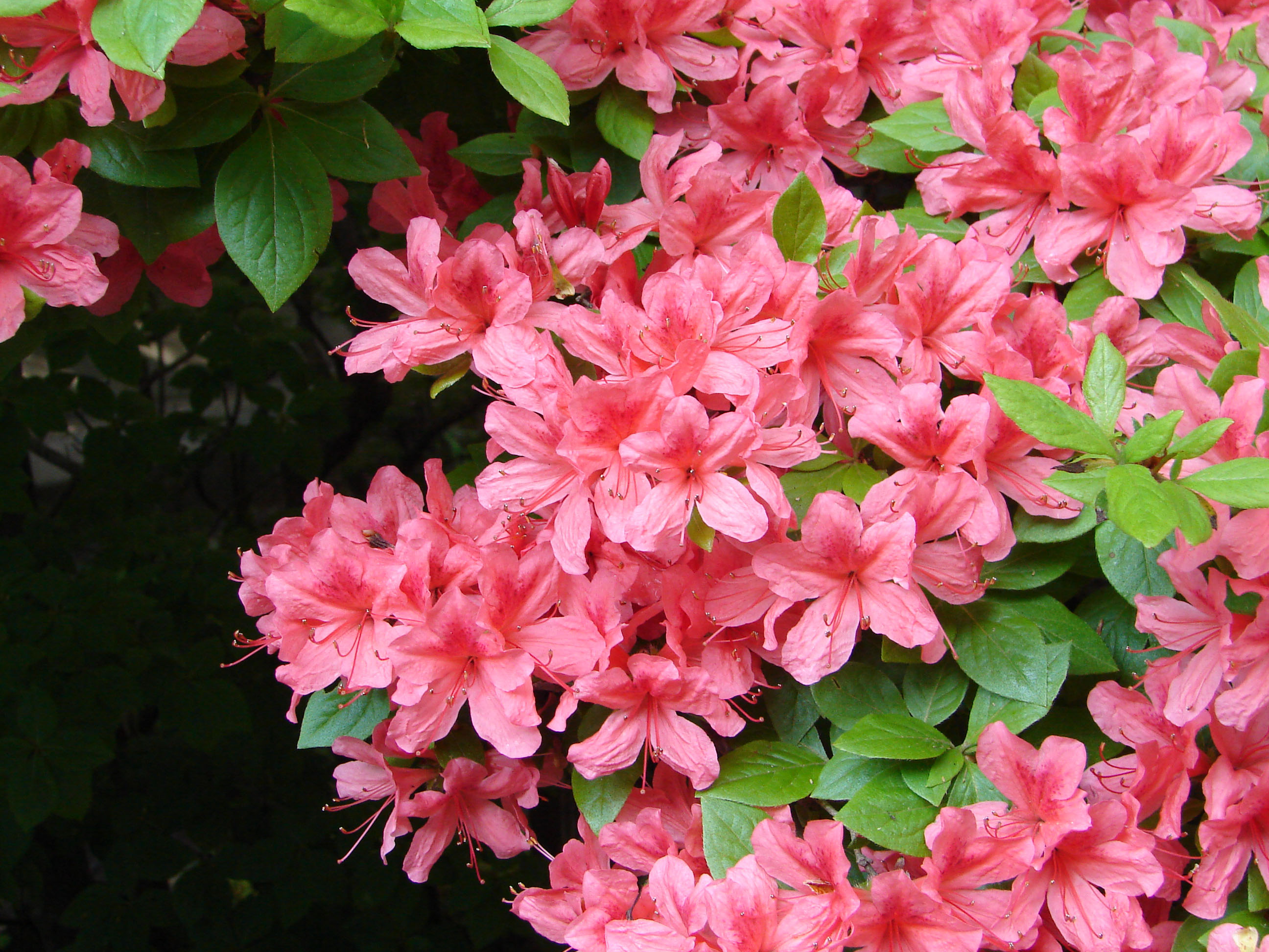 Rhododendrons, Azaleas: Blooming Marvels Of The Plant